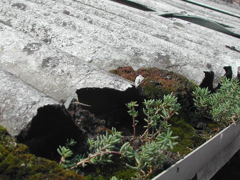 Ondulina di cemento-amianto con muschio e piante